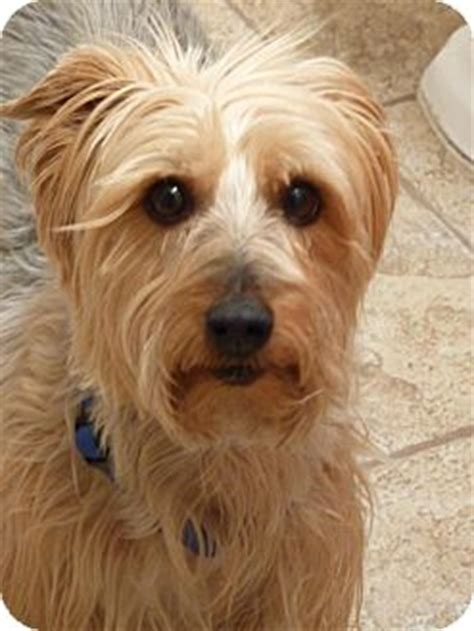 silky and yorkie mix hobbes adopted westfield in yorkie terrier silky terrier mix