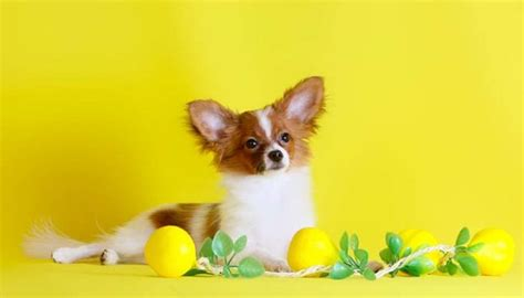 are oranges bad for dogs can dogs eat lemons or are lemons bad for dogs a look