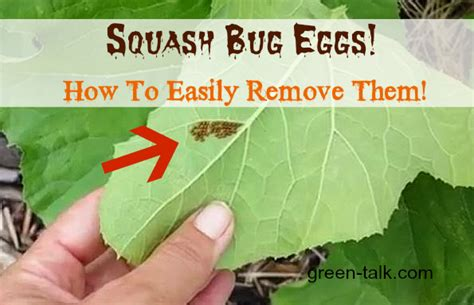 squashed bed bug how to keep bed bugs off your body get rid of squash bug