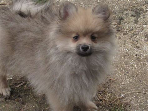 purebred pomeranian purebred pomeranian puppy with kc registration market harborough leicestershire
