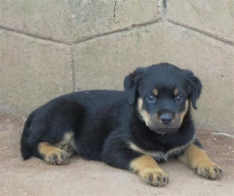 rottweiler for sale in kerala rottweiler price in indiarottweiler puppy for sale in thrissur india breeds picture