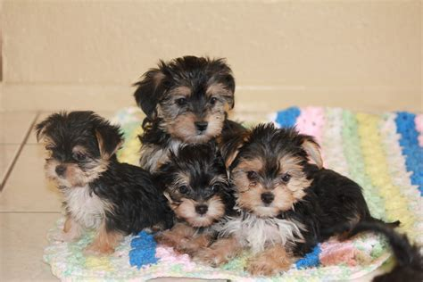 images morkies i heart morkies we are 8 weeks old now