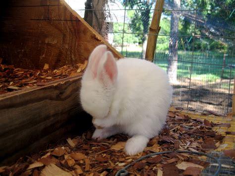 backyard rabbit farming 100 backyard rabbit farming bulletin 1044 backyard