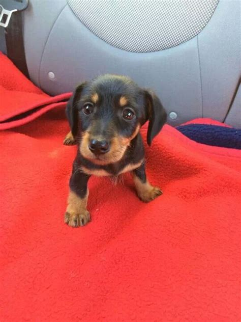 doxin puppies i my stan mini dachshund things i want
