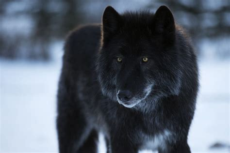 black wolf hybrid puppies alberta sanctuary trying to save abandoned wolf hybrids toronto