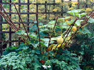 growing zucchini on a trellis guide to growing summer squash and zucchini hgtv