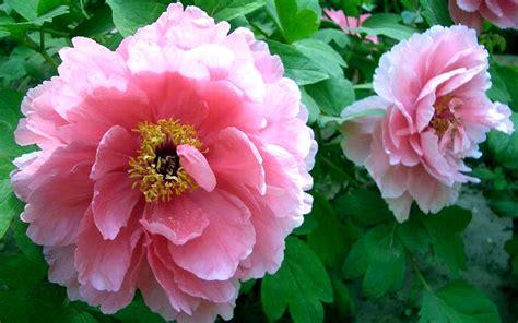peony flowers flowers peony flower