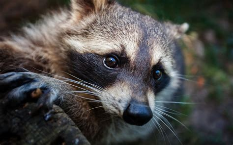 raccoon wallpapers archives hdwallsourcecom