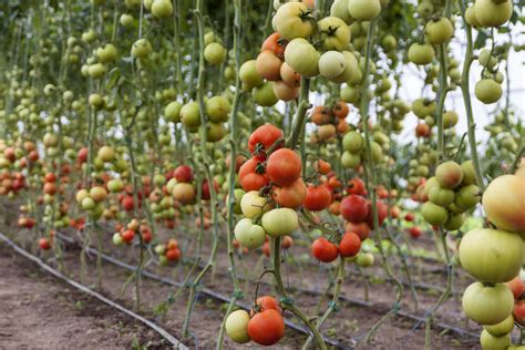 seminare pomodori in vaso come coltivare il pomodoro in orto biodinamico