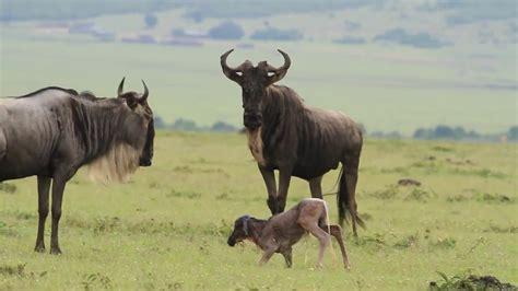 baby wildebeest birth of a baby wildebeest at masai mara