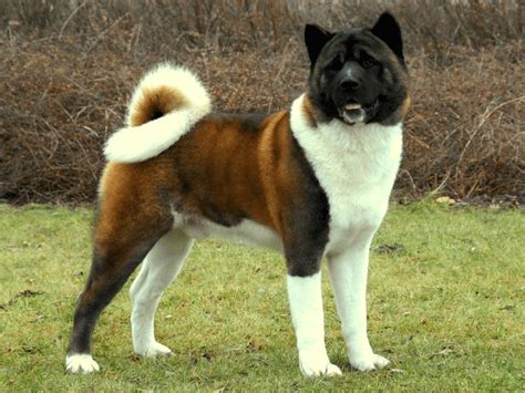akita price akita inu puppies cost puppy