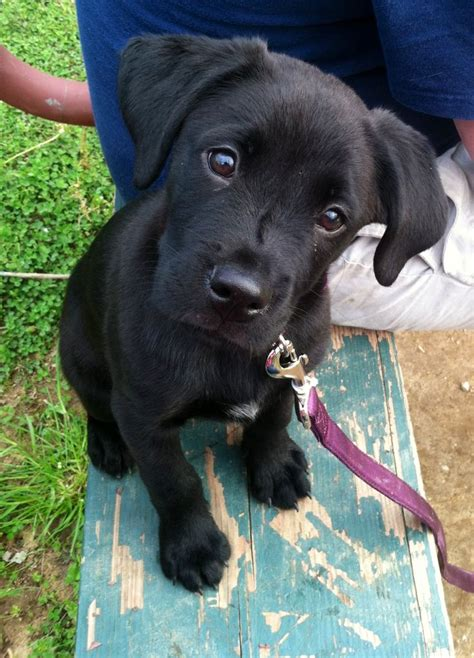 black lab puppy 38 best images about black lab puppies on