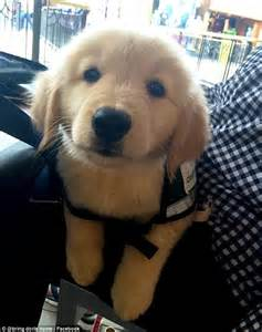 3 month golden retriever puppy three month golden retriever puppy is stolen from a service facility