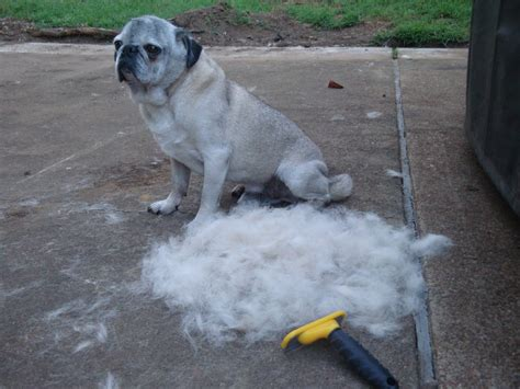pug hair shedding pug hairs 3 tips you must to survive