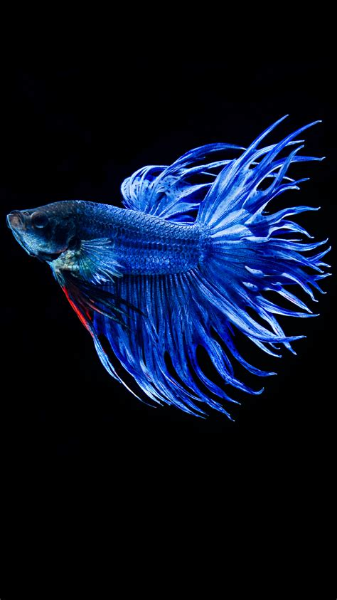 apple wallpaper betta fish apple iphone 6s wallpaper with blue betta fish in dark