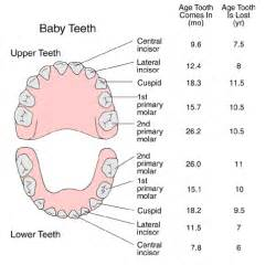 ages when baby teeth come in and fall out baby names and locations of baby teeth with average ages of