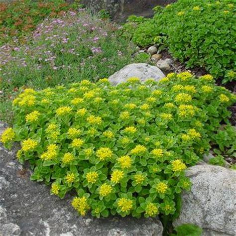Fragrant Garden Plants - sedum kamtschaticum russian stonecrop from midwest groundcovers