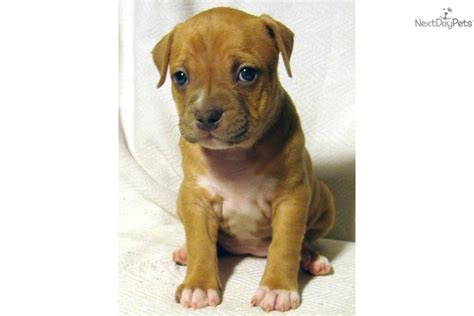 pitbull puppies for sale in pittsburgh american pit bull terrier puppy for sale near pittsburgh pennsylvania 3afa912d 30d1