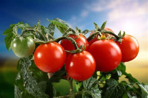 Tomato 5k Retina Ultra HD Wallpaper and Background Image