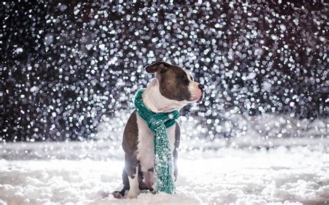 winter pit top 10 dogs wallpapers hd animals wallpapers