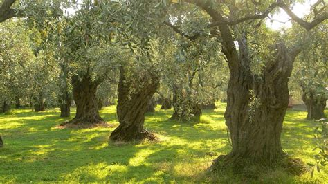 olive tree wallpaper eco what paladone do take care of the world around us