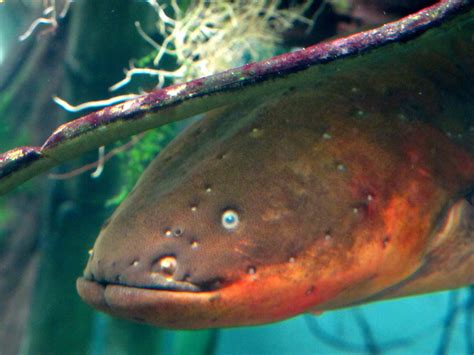 electric eel why electric eels don t electrocute themselves business