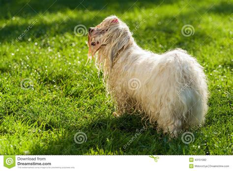 havanese water playful havanese is waiting for a water beam stock photo image 43151082