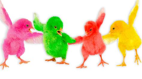 colorful chickens learn color baby chicken colorful finger family nursery