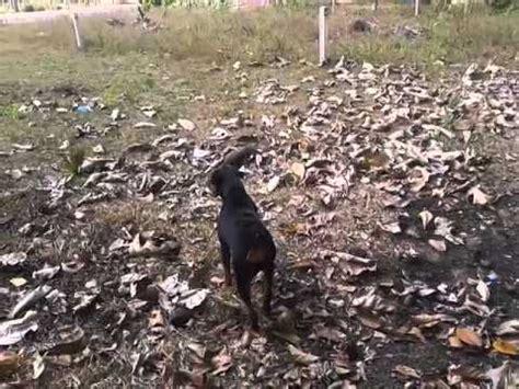 rottweiler sri lanka rottweiler sea bathing sri lanka