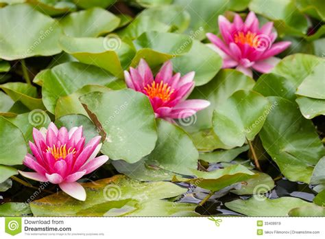 water lilies royalty free stock images image 33408919
