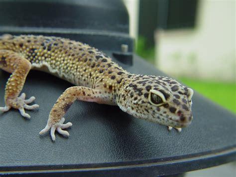 leopardgecko 2 free photos 1386193 freeimages