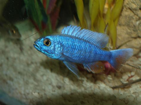 Electric Blue New cichlids new iceberg electric blue