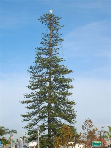 araucaria heterophylla norfolk island pine used a