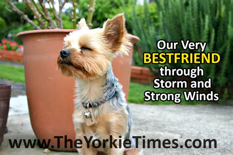 what of yorkies are there terriers are always there