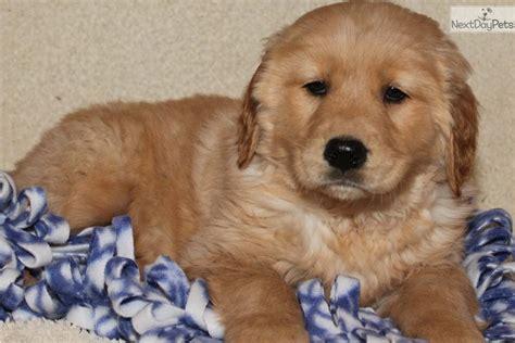 golden retriever blue meet blue a golden retriever puppy for sale for 550 blue boy akc