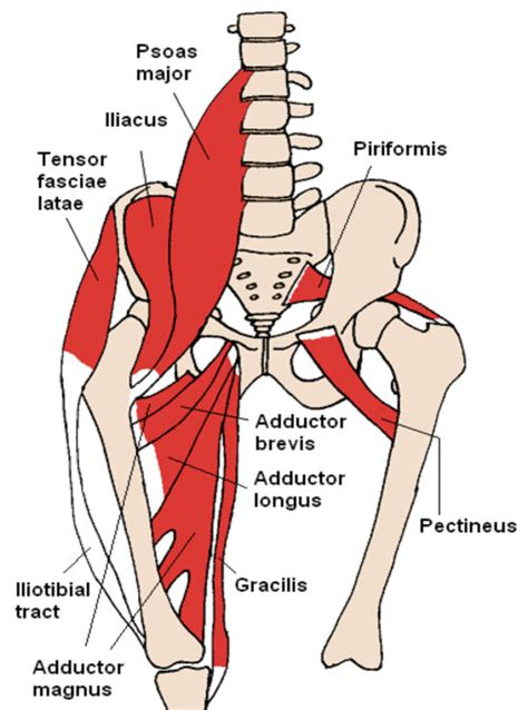 Adductor Muscles Diagram anatomy of groin and adductors