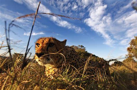 Turns Cheetah by Cheetahs Secret Weapon A Tight Turning Radius The New