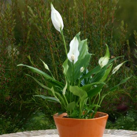 peace lily plant benefits information care for plant