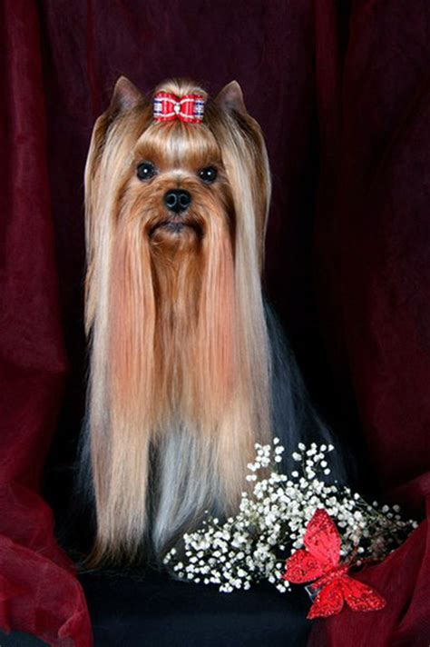 how many types of yorkies are there yorkie hair styles 2017 2018 best cars reviews