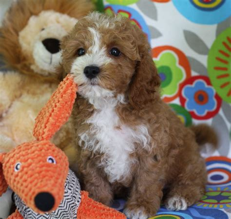cavapoochon puppies why cavapoochon foxglove farm