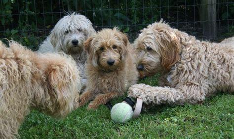 mini doodle hund vores erfaring med doodlerne specialdogs