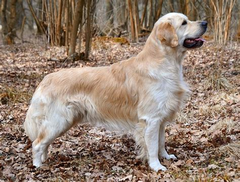 how big are golden retrievers golden retriever all big breeds