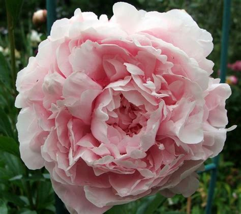 light pink peonies peonies types of flowers flower muse 211 best images about australian peony varieties on
