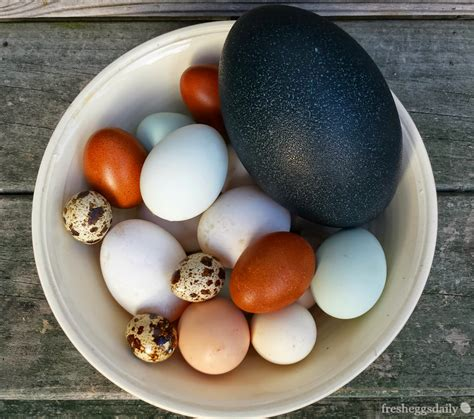 what color eggs do chickens lay types of chickens that lay blue eggs www pixshark