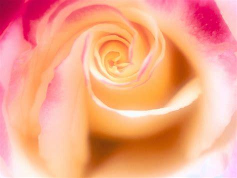 roseswallpapers  fonds decran gratuits