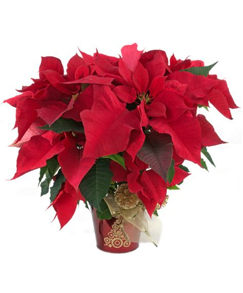 christmas poinsettias and gift giving zeidlers flowers