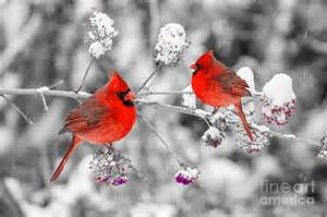 red cardinals in the snow photograph by anthony sacco
