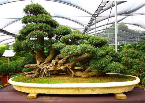 bonsai tree talus slopes bonsai tree photos