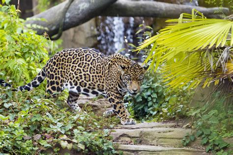 jaguar conservation and woodland park zoo woodland park