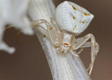 imagenes de arañas blancas ara 241 a cangrejo animales curiosos